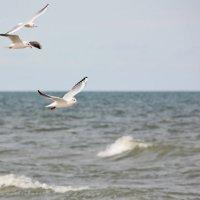 Чайки ... :: Нина Сигаева