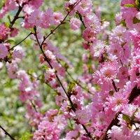 Цвет сакуры :: Helen Helen