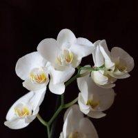 Орхидея :: Вячеслав
