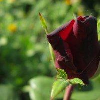 роза :: Дарья Карпеева