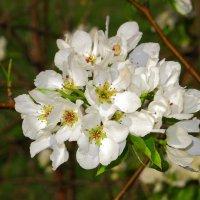 И опять была юная весна (Андрей Белый) :: Нина северянка