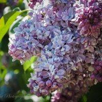 Сирень в цвету :: Helavia *