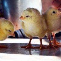 Цыплята :: Анастасия Журавлева