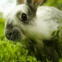 Кролик :: Богдан Купчак