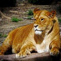 Царь зверей :: Владимир Бровко