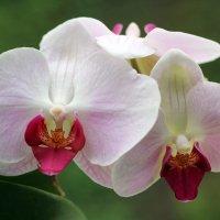 Орхидея :: Aнна Зарубина