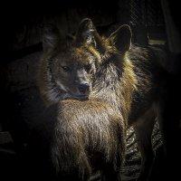 Красный волк :: Андрей Качин