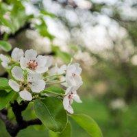 Цветение яблони :: Станислав Черноусиков