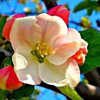 Цветок яблони. :: Михаил Столяров
