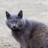 Дымчатая кошка :: ValentinaS Skvorcova