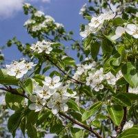 Белым пухом-покрывалом   грушевой покрыт весь сад!.. :: Надежда
