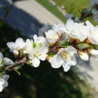 войлочная вишня... :: Наталья Меркулова