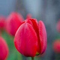 Вечерние тюльпаны :: Ольга Савотина