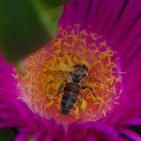 Пчелка :: Константин Вергун