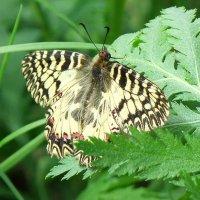 Бабочка Зеринтия Поликсена (Zerynthia polyxena) :: Генрих Сидоренко