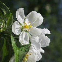 Цвет яблони :: Регина Богомолова