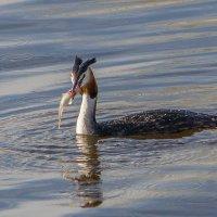 Чомга - умелый ловец рыбы :: Леонид Никитин