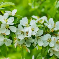 Яблоня в цвету :: Денис Антонов