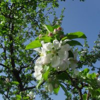 Цветущая яблоня :: Анатолий