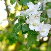 лучше нету того цвету, когда яблоня цветёт... :: Галина Петрова