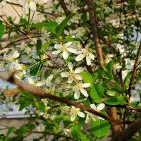 Цветы вишни :: Artem Andreev