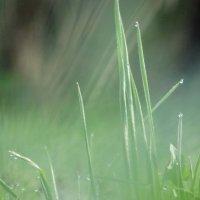 Трава, утро, роса :: Владимир Гилясев