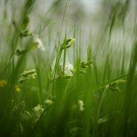 из жизни полевых цветов... :: Юрий Кальченко