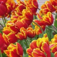 Майские тюльпаны Великих Лук... :: Владимир Павлов