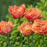 Бархатистые тюльпаны :: Дмитрий Сушкин