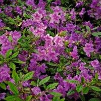 Майские цветы Ботанического сада - 3 :: Владимир Бровко
