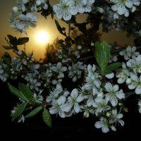 Вишневый сад :: Евгения Беденко