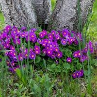 Цвет весны :: Наташа С