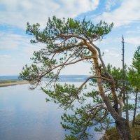 Сосна над Ангарой :: Сергей Шаврин