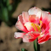 Тюльпан :: Ekat Grigoryeva