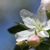 Яблоня в цвету :: Кира Пушечкина