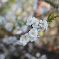 Цветение вишни :: Екатерина Ермилова