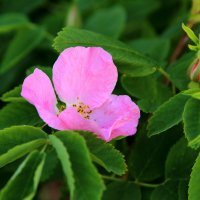 цветок :: Ivan Shyshkin