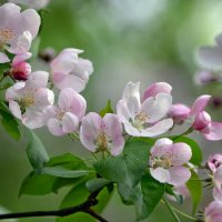 Ах, это майское цветенье!.. :: Ольга Русанова (olg-rusanowa2010)