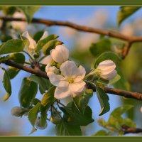 Вечерняя яблоня в цвету... :: Maxxx©