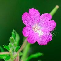 Аленький цветок :: Анатолий Клепешнёв