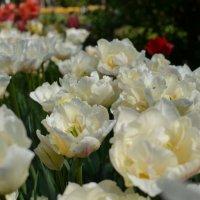 1 мая - Ботанический сад, тюльпаны :: Ольга Рыбакова
