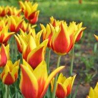 тюльпаны 1 мая в ботаническом саду :: Ольга Рыбакова