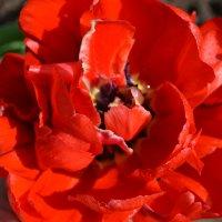Тюльпаны :: Irinka Zharova
