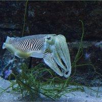 Маленький кальмарчик в океанариуме г.Сан Себастьян, Испания :: Lmark