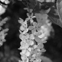 черно-белая черемуха :: евгений Смоленцев