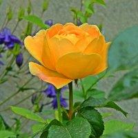 роза Golden Celebration :: Александр Корчемный