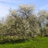 Вишнёвый сад :: Денис Матвеев