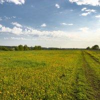 Одуванчиковое поле :: Юрий Бичеров