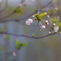 цветение вишни :: Dmitry Sharafeev