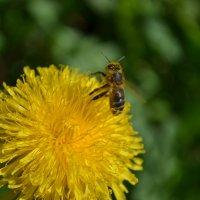 пчелка :: Олеся Морозова